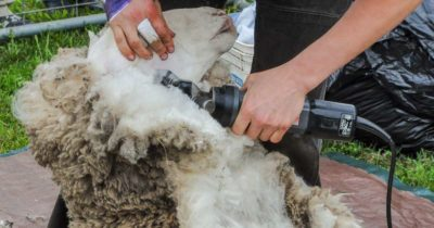 Information on how to get ready for shearing